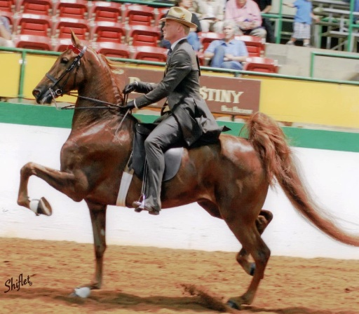 Forty Second Sweetheart - Windsor Fram Saddlebreds