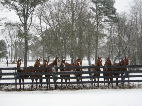 Yearlings in the snow at Windsor Farm
